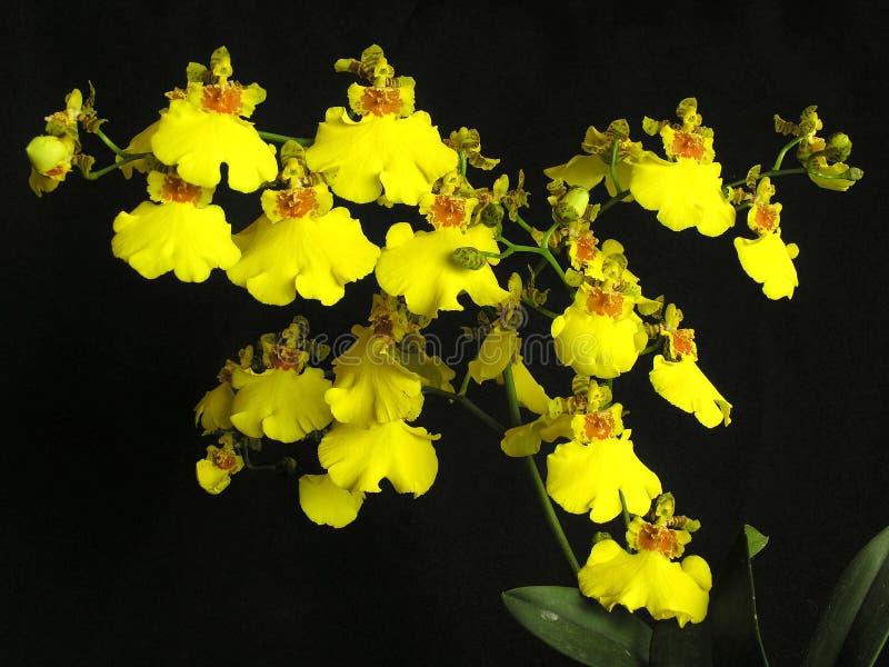 Orchidea bifolium di oncidium immagine stock immagine for Orchidea fioritura