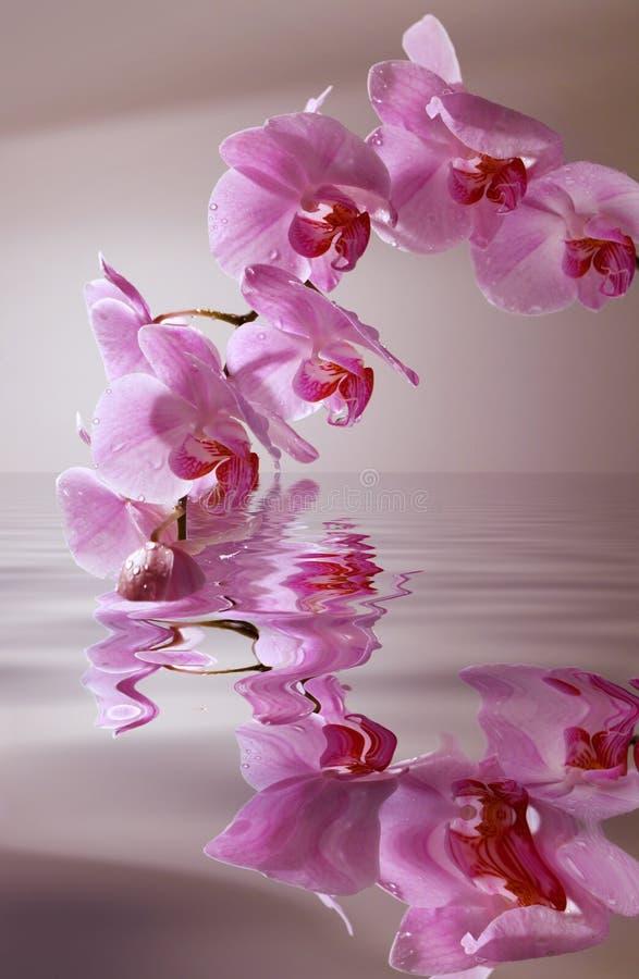 Orchidea con i cali in inondazione immagini stock