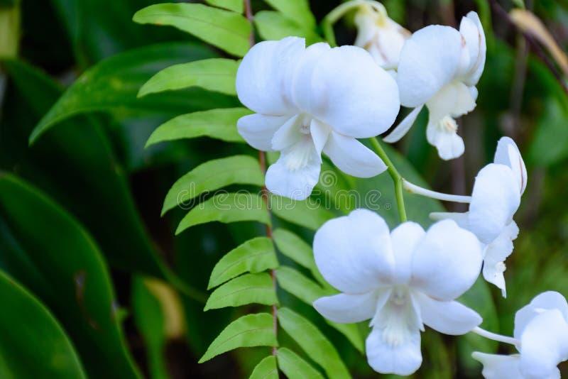 Orchidea del bello dendrobium bianco del lepidottero o di phalaenopsis, fotografie stock libere da diritti