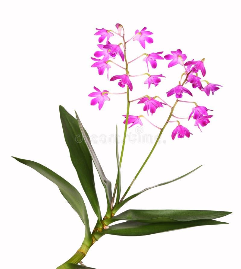 Orchidea del Dendrobium fotografia stock libera da diritti