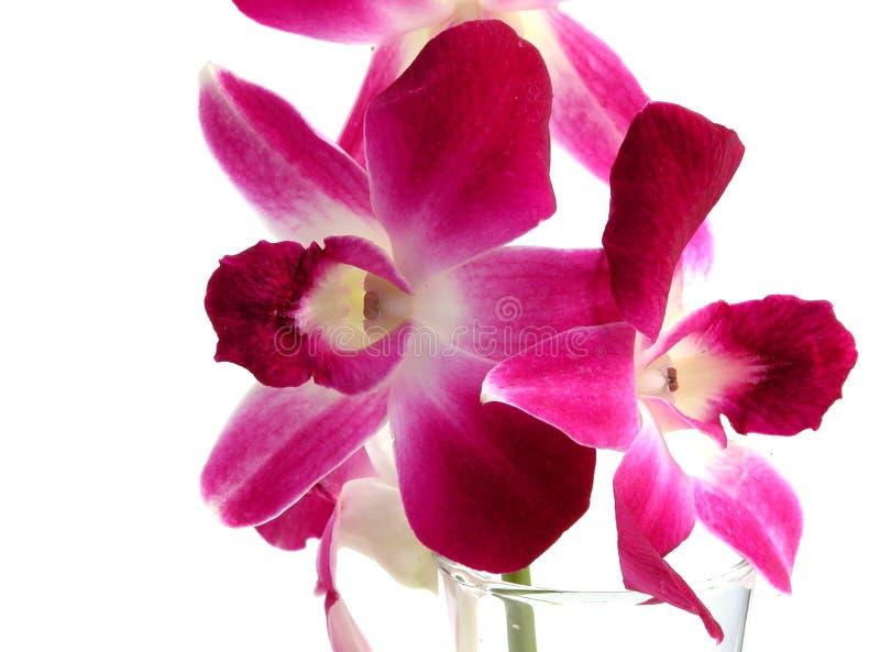 Orchidea del Dendrobium immagini stock