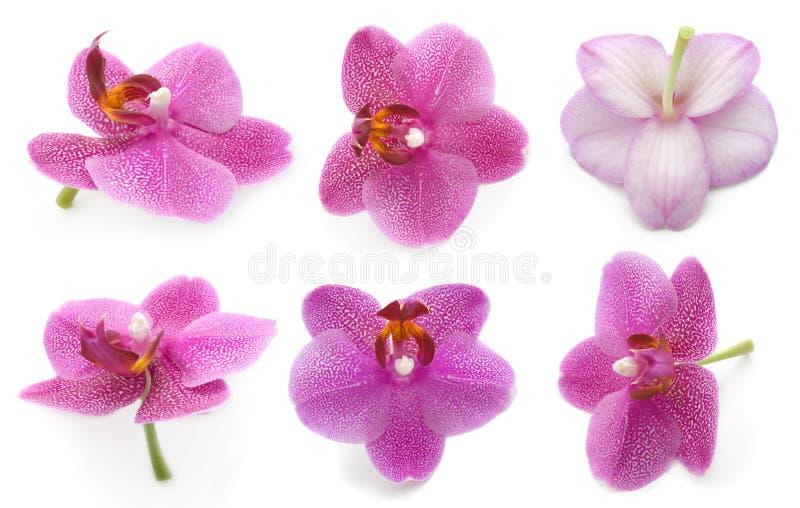 Orchidea dell'accumulazione fotografia stock libera da diritti