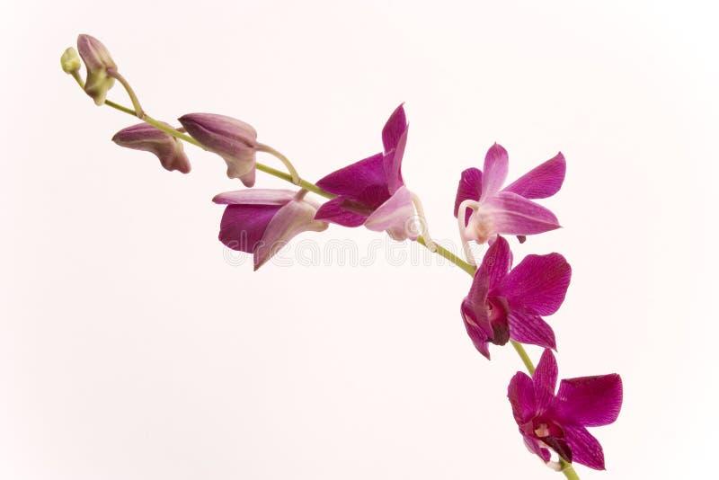 Orchidea dentellare fotografie stock