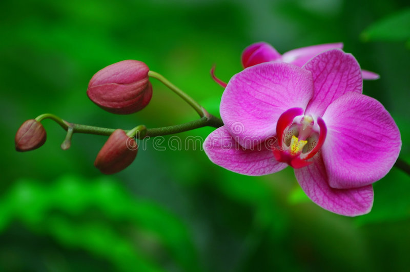 Orchidea dentellare fotografia stock