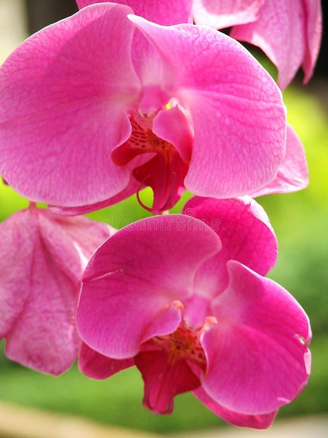 Orchidea dentellare immagine stock