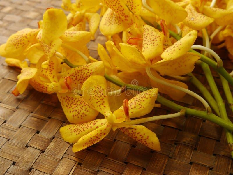 Orchidea di Ascocenda immagini stock