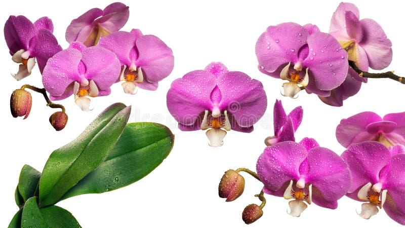 Orchidea di fioritura con le gocce di rugiada collage Isolato fotografie stock libere da diritti