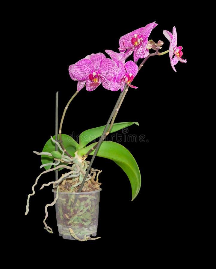 Orchidea di fioritura di phalaenopsis in un vaso di fiore for Orchidea fioritura