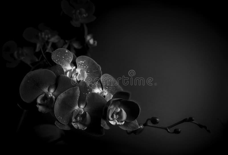 Orchidea di fioritura immagine stock libera da diritti
