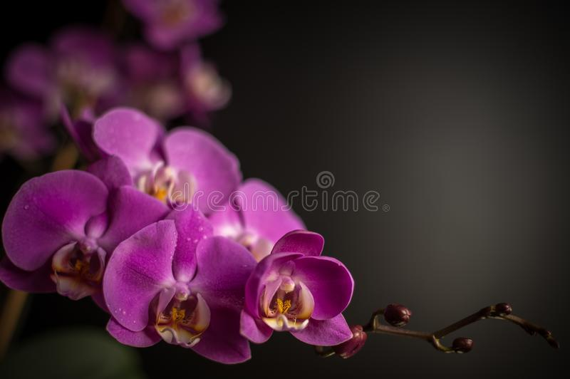Orchidea di fioritura fotografie stock libere da diritti