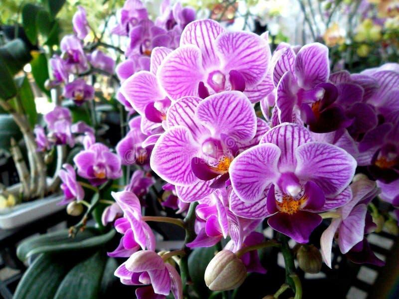 Orchidea di lepidottero fotografia stock libera da diritti