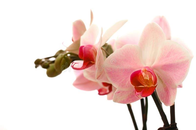 Orchidea di lepidottero dentellare e bianca. immagine stock