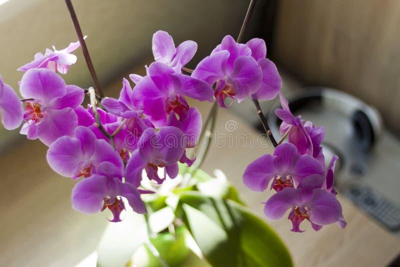 Orchidea di mattina fotografia stock