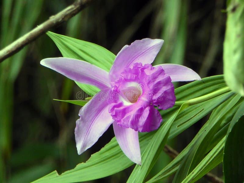 Orchidea di Pumila di Laelia in giungla guatemalteca immagine stock
