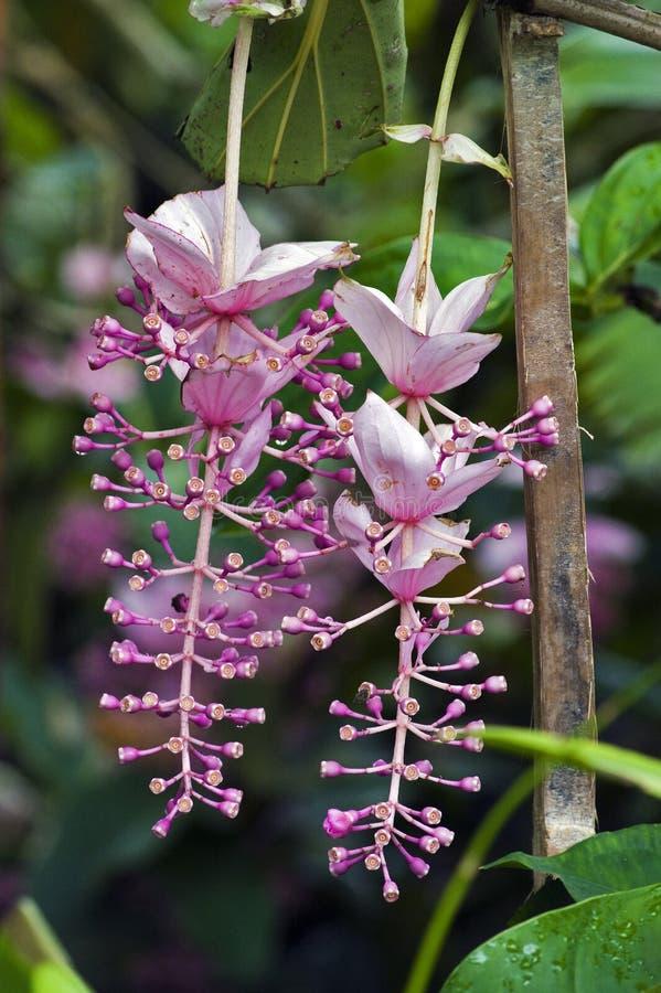 Orchidea filippina, un fiore rosa ed esuberante fotografie stock libere da diritti