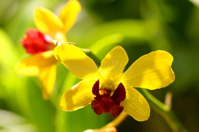 Orchidea gialla di meraviglia fotografie stock libere da diritti
