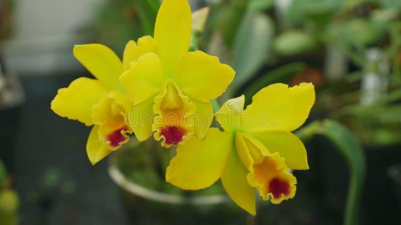 Orchidea gialla ibrida di labiata di Cattleya il genere, sviluppo di molti ibridi artificiali che fioriscono il fiore di fioritur immagini stock libere da diritti