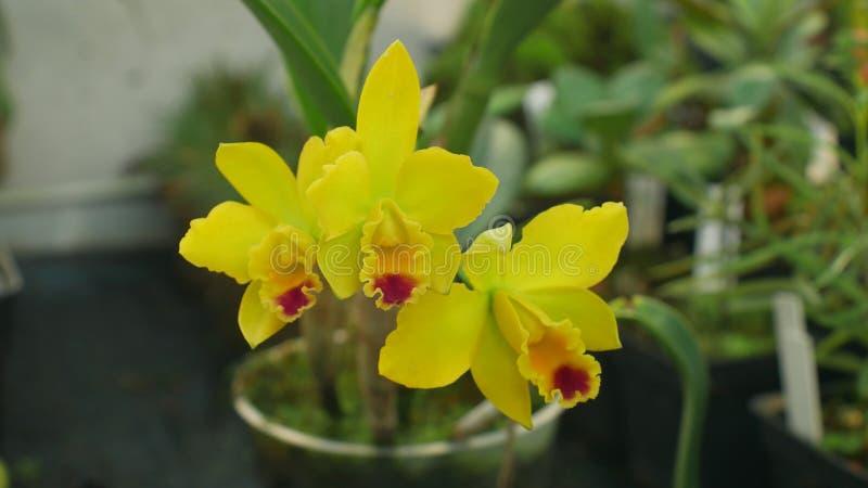 Orchidea gialla ibrida di labiata di Cattleya il genere, sviluppo di molti ibridi artificiali che fioriscono il fiore di fioritur immagine stock