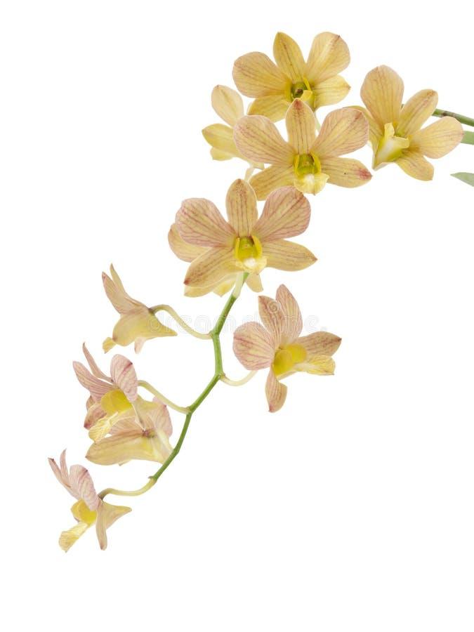 Orchidea isolata fotografie stock libere da diritti