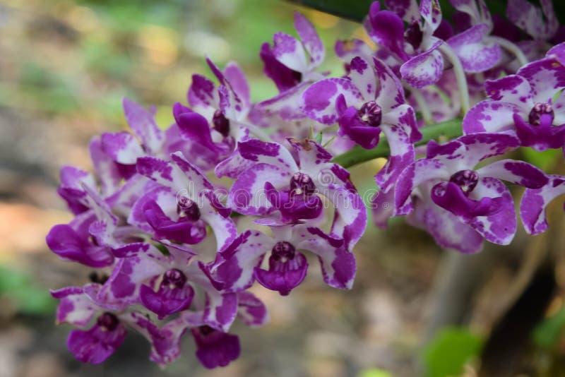 Orchidea Kwitnie w ogródzie obrazy royalty free