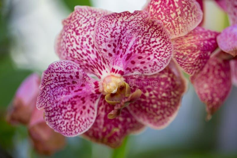 Orchidea macchiata rosa fotografia stock