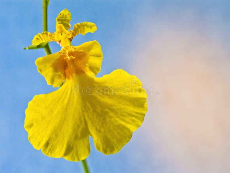 Orchidea: Oncidium Varicosum fotografia stock libera da diritti