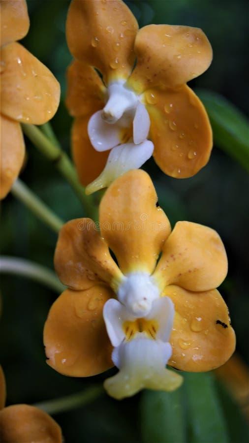 Orchidea in pioggia di mattina immagine stock