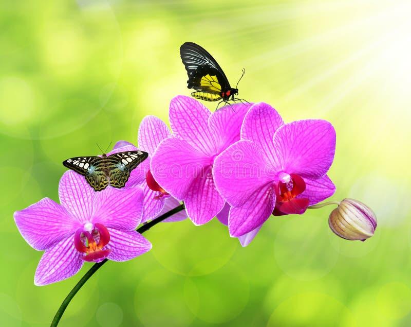 Orchidea porpora con le farfalle fotografia stock for Orchidea fioritura