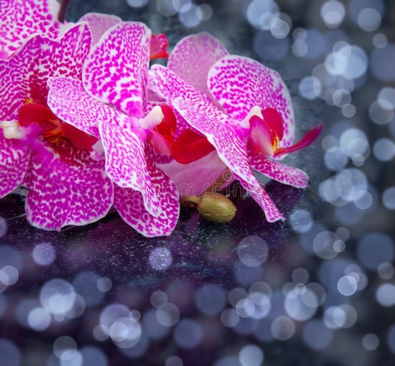 Orchidea rosa fotografia stock libera da diritti