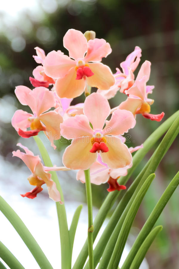 Orchidea rosa alta chiusa nel giardino fotografie stock libere da diritti