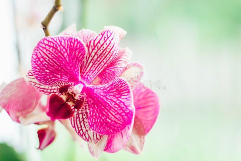 Orchidea rosa con le vene su un fondo bianco Primo piano Fondo con spazio per testo immagine stock