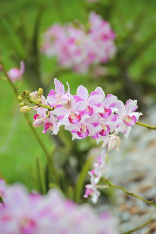 Orchidea rosa e bianca alta chiusa nel giardino immagini stock