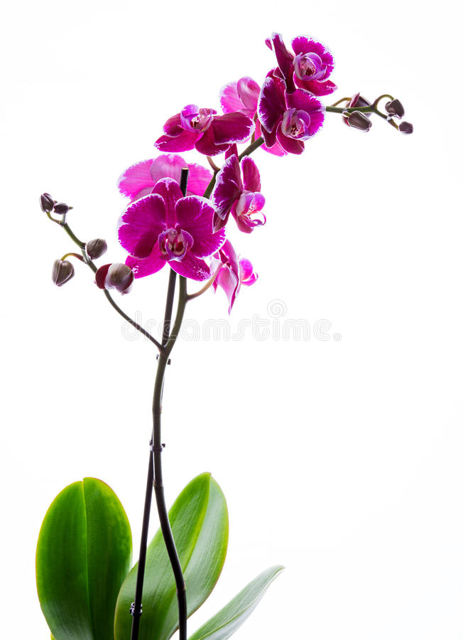 Orchidea rosa variopinta immagine stock immagine di for Orchidea fioritura