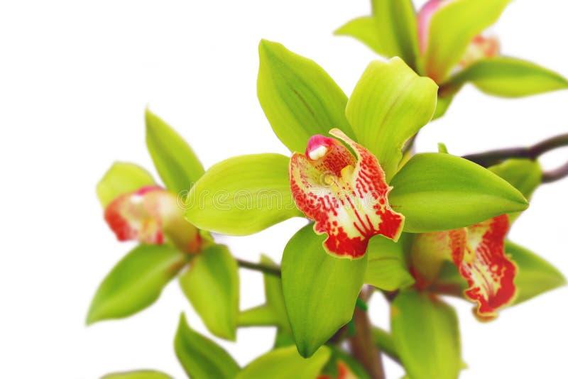 Orchidea sbocciante fotografia stock libera da diritti