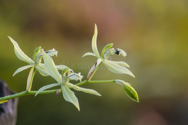 Orchidea selvatica di brachyptera di Coelogyne fotografie stock