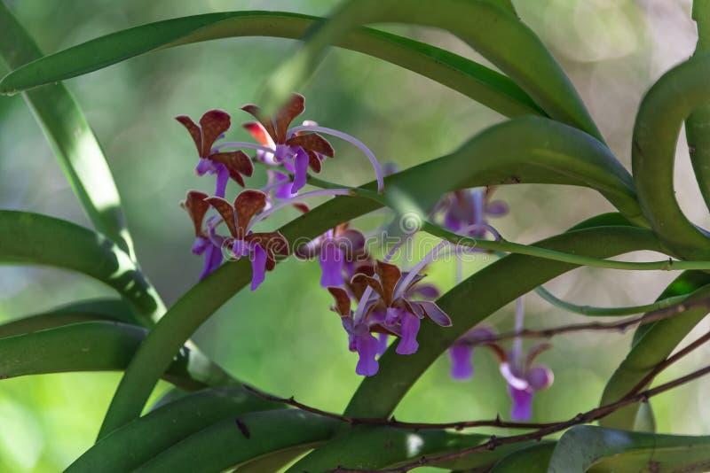 Orchidea selvatica nella giungla indonesiana immagine stock