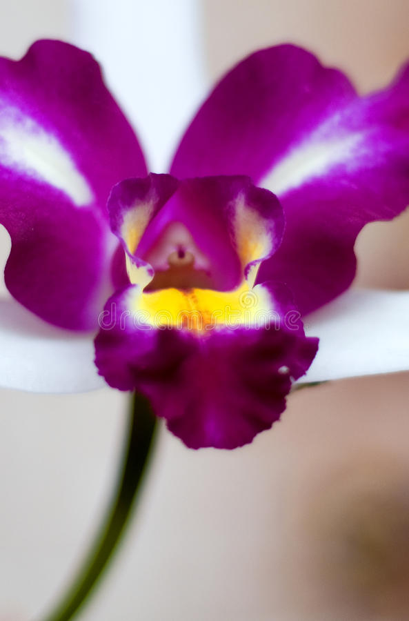Orchidea still life royalty free stock images