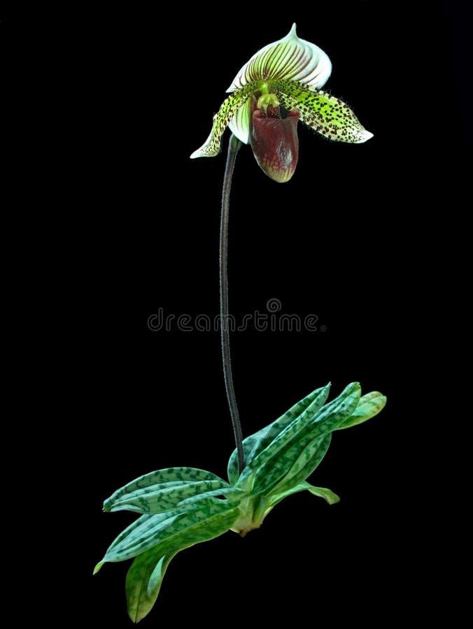 Orchidea Sul Nero (a Piena Vista) Immagini Stock