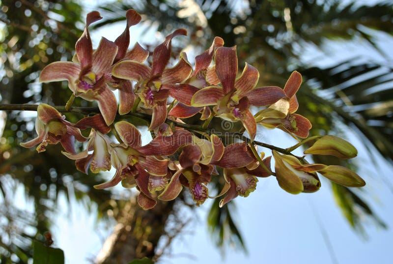 Orchidea in Tailandia immagine stock