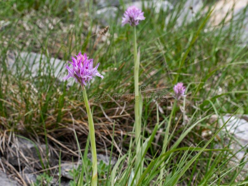 orchidea Tre-dentata, tridentata di neotinea in habitat Alpi di Apuan immagine stock libera da diritti