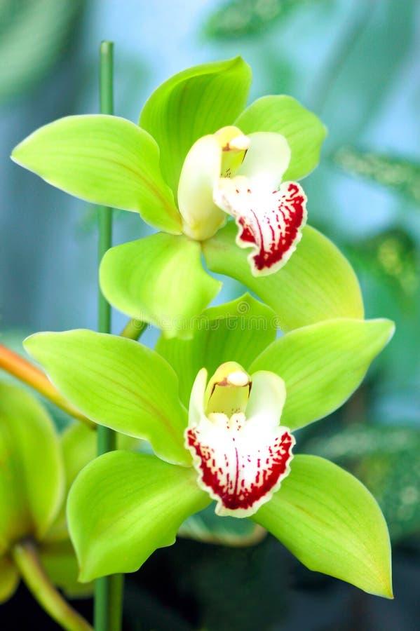Orchidea verde immagine stock libera da diritti