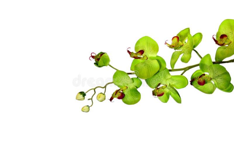 Orchidea verde isolata immagini stock