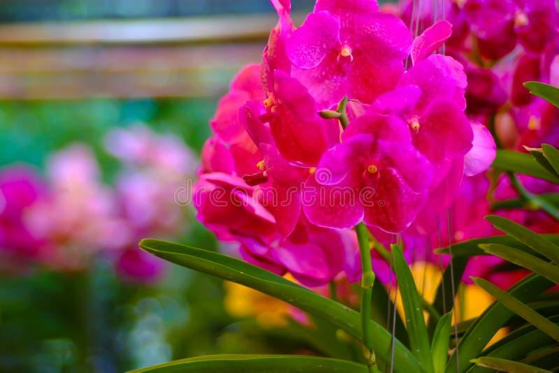 Orchidea w ogródzie & x28; orchidea, phalaenopsis, purple& x29; zdjęcia stock