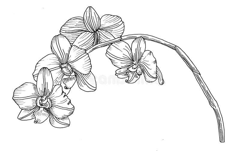Orchidea Wyciągane ręcznie Grafika ilustracja wektor