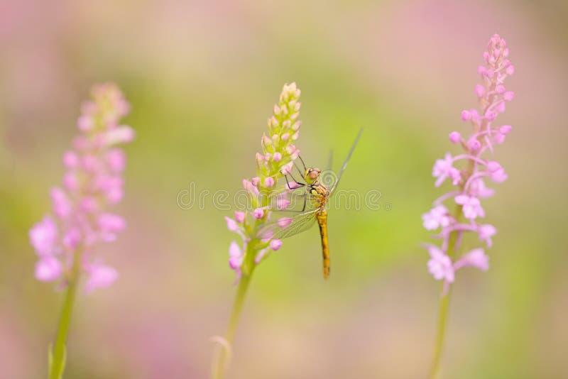 Orchidea z dragonfly, Pospolita Fragrant orchidea, gołka conopsea, kwiatonośna Europejska ziemna dzika orchidea w natury siedlisk obraz stock