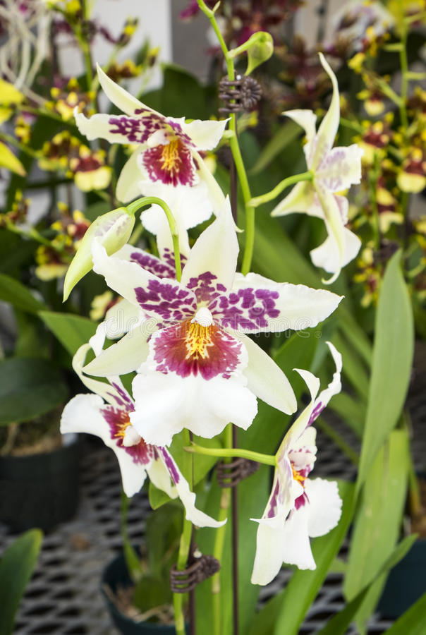 Orchideeën #1 stock afbeelding