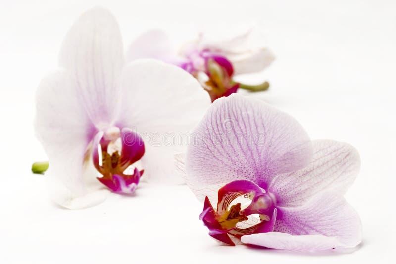 Orchideeën stock afbeelding