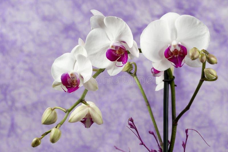 orchideeën stock afbeeldingen
