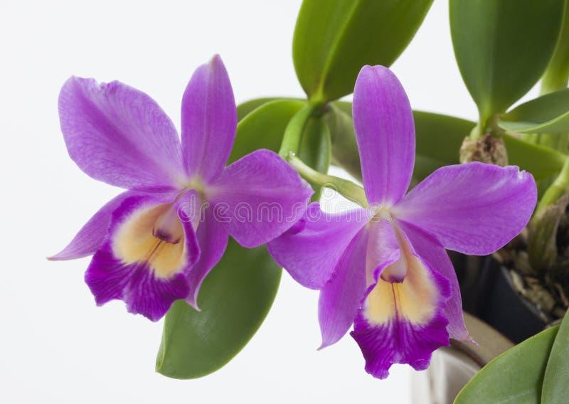 Orchideeën bloemen Cattleya sp. royalty-vrije stock afbeeldingen