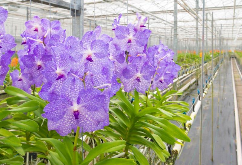 Orchideeën in een serre stock fotografie